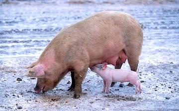 pig poop  a3c6cc0e0a7e